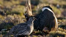 This April, 2007, file photo provided by the Nevada Department of Wildlife shows a male and female sage grouse in the mountains near Reno, Nev. In Canada's Federal Court of Appeal on March 19, 2013, a panel of three judges listened while lawyers argued over whether Environment Minister Peter Kent has to reveal if he has made a recommendation to cabinet concerning the fate of the sage grouse. (Kim Toulouse/The Canadian Press)