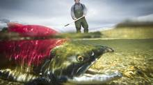 Timber Whitehouse checks the sockeye salmon stock on the Adams River on Oct. 26, 2011 (JOHN LEHMANN/The Globe and Mail)