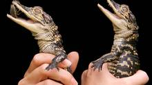 Two eight-month-old male American Alligators are held by their keeper as they are hand-fed cockroaches at the Australian Reptile Park, located 80 kilometers north of Sydney, October 6. The alligators are fed once every two days and when fully grown, can weigh 1000 times their present weight of 700 grams.The reptile park has Australia's only alligator breeding program (DAVID GRAY/REUTERS)
