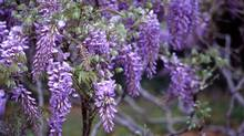 Wisteria at Brooklyn Botanical Garden (Thinkstock)