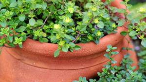 Thyme is one of a few culinary plants that can withstand life in notoriously difficult strawberry pots.