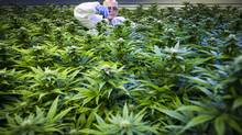 Shlomo Booklin trims cannabis plants at Tilray a medical marijuana grow-op in Nanaimo August 14, 2014. (John Lehmann/The Globe and Mail)