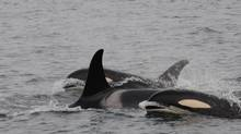 Northern resident Killer Whales off River's Inlet BC (Dr. Lance Barrett-Lennard)
