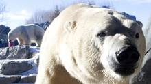 A polar bear receives it's Christmas treat at Toronto Zoo on Sunday December 26, 2010. Toronto Zoo announced Wednesdaythat one of their two, 10 year old female polar bears, Aurora, gave birth to three cubs overnight. (Chris Young/The Canadian Press/Chris Young/The Canadian Press)