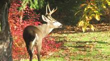 """Stephen McIntyre sent us this photo: """"A handsome buck comes to eat our backyard apples, Langley, B.C."""" (Stephen McIntyre/Stephen McIntyre)"""