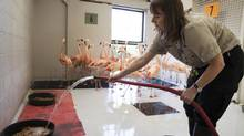 Jennifer Long feeds the Calgary Zoo's pink flamingos in a holding pen on July 9, 2013, after they lost their enclosure in the city's floods. (TODD KOROL FOR THE GLOBE AND MAIL)