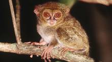 Tarsiers can easily fit in the palm of your hand.