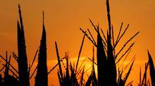 The sun rises Sunday, July 15, 2012, in Pleasant Plains, Ill. Corn stalks are struggling in the heat and continuing drought that has overcome most of the country. (Seth Perlman/AP)