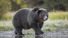 """The B.C. grizzly nicknamed """"Big Momma."""" Wildlife experts worry that the bears in the B.C. management units will be easy for hunters to kill because they have grown used to humans. (© John E. Marriott/wildernessprints.com)"""