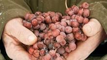 Frozen grapes awaiting harvest at Inniskillin. (Inniskillin)