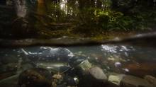 A pink salmon swims upstream for spawning in the Cheakamus River near Squamish, B.C., on Sept. 20, 2011. (John Lehmann/The Globe and Mail)