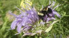 This 2016 file photo provided by the Xerces Society shows a rusty patched bumblebee in Minnesota. (Sarah Foltz Jordan/AP)