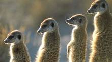 "A scene from ""Meerkat Manor."" (JOHN BROWN/AP)"