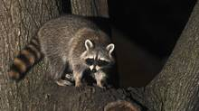 A raccoon climbs in a tree on Palmerston Blvd near Bloor Street in Toronto on Sept. 1, 2008 (Kevin Van Paassen/The Globe and Mail)