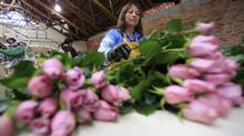 A worker packs roses to be shipped ahead of Valentine's Day. (Fernando Vergara/AP/Fernando Vergara/AP)