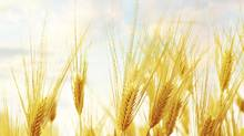 Canada is one of the largest exporters of wheat in the world. (Getty Images)