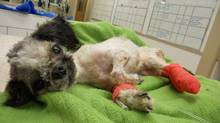 Tiny the Shih Tzu is shown in a photo released on Friday Dec. 14, 2012. A Victoria man accused of abusing a dog has been fined after pleading guilty to failing to provide necessities to an animal. (Wendy Nesbitt/THE CANADIAN PRESS)
