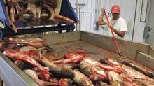 In this July 16, 2014 photo, plant manager Peter Allen feeds Asian carp onto a conveyer belt at the American Heartland Fish Products carp-processing plant near Grafton, Ill., north of St. Louis. (Jim Suhr/AP)