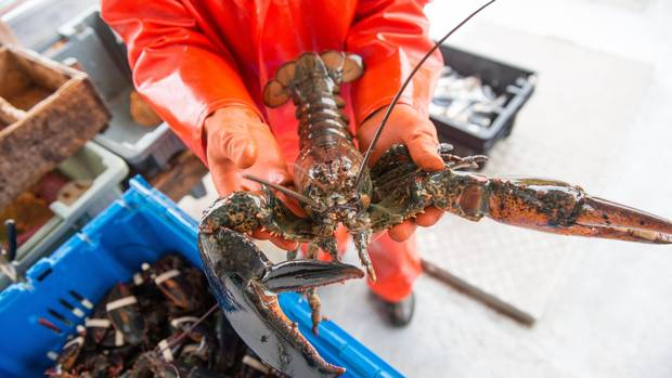 Race for the best spots kicks off lobster season in for Lobster fishing california