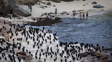 San Diego officials are using guano-eating bacteria to try and fix the odour problem in La Jolla brought on by thick layers an excess of bird poop. (SAM HODGSON/NYT)