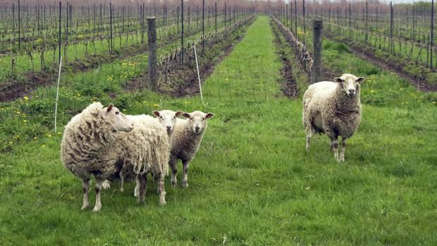 Sheep in a vineyard.