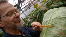 Mike Wiltshire, one of eight full-time employees at Applied Bio-Nomics in North Saanich, B.C., points out black specks, which are whitefly scales that have been parasitized by Encarsia formosa, a predatory insect. (Keith Norbury for The Globe and Mail)