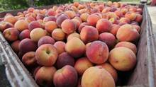 Peaches await cleaning and packing after being picked at Andrews Farm peach orchards in Beamsville, Ont., August 17, 2010. (Glenn Lowson for The Globe and Mail)