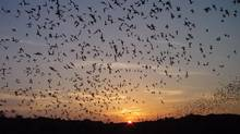 An exodus of bats leaves Carlsbad Caverns National Park in New Mexico. (DR. NICK HRISTOV/ASSOCIATED PRESS)