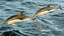 Common dolphins, shown in this undated handout photo, swim off the coast of Nova Scotia. (CP PHOTO/Department of Fisheries and Oceans)