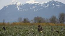 Workers pick brussels sprouts in a field in Chilliwack, B.C. Monday, Nov.11, 2013. (JONATHAN HAYWARD/THE CANADIAN PRESS)