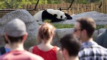Visitors at the Toronto Zoo get a glance at Da Mao, one of two giant pandas on loan from China, May 30, 2013. (Moe Doiron/The Globe and Mail)
