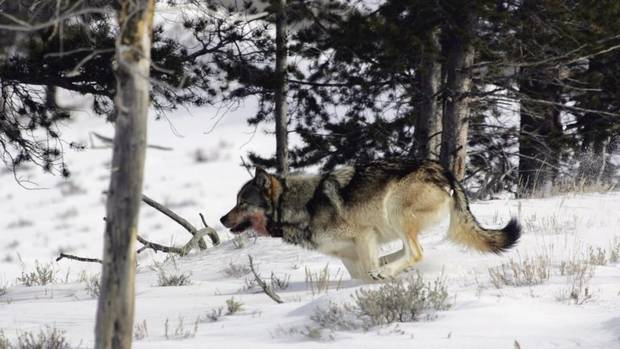 Wolves Should Be Hunted