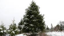 A Balsam Fir tree at the Jollitree Farm U-Cut in Hilden, N.S. (Paul Darrow for The Globe and Mail)