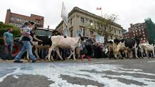 Dairy farmers take part in a protest in downtown Ottawa on Tuesday, September 29, 2015. (Sean Kilpatrick/THE CANADIAN PRESS)