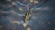 The return of salmon to some small Metro Vancouver streams – that have been the focus of habitat restoration work in recent years – is a good sign this fall. (John Lehmann/The Globe and Mail)