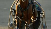 Campbellville Ont.Aug30_2012.Metro Pace.Trainer Tony Alagna trains Metro Pace contender Capatintreacherous in preperation for the $1,000,000 dollar race at Mohawk on Saturday evening for 2 year old pacing colts. (Michael Burns)