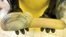 Geoduck is a lucrative shellfish crop in Vancouver Island's Kulleet Bay, but the Stz'uminus First Nation is threatening to blockade the fishery in a dispute over harvesting rights. (Rafal Gerszak for The Globe and Mail)