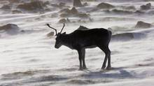 A wild caribou roams the tundra in Nunavut in 2009. Environmentalists are asking why government rhetoric on saving caribou habitat isn't matched by what's happening on the ground. (NATHAN DENETTE/THE CANADIAN PRESS)