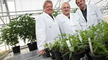 Vic Neufeld CEO, left, Cole Cacciavillani, centre, and John Cervini co-chairs of Aphria, stand in front of some of their Medical Marihuana plants at the company's greenhouse in Leamington, Ontario, May 26, 2014. (GEOFF ROBINS For The Globe and Mail)