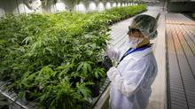 This 2015 file photo shows a grow room at Aurora Cannabis Inc.'s facility near Cremona, Alta. (Jeff McIntosh For The Globe and Mail)