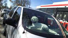 A dog waits for its owner in a car in Toronto on May 9, 2011. (Peter Power/The Globe and Mail)