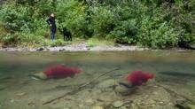 Spawning sockeye salmon are seen making their way up the Adams River in Roderick Haig-Brown Provincial Park near Chase, B.C. Tuesday, Oct. 4, 2011. (Jonathan Hayward/THE CANADIAN PRESS)