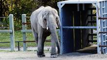 An elephant at the Toronto Zoo stands in his pen on Oct. 14, 2013. Elephants Toka, Thika and Iringa have completed their journey from Toronto to a new sanctuary in California. (MICHELLE SIU FOR THE GLOBE AND MAIL)
