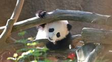 San Diego Zoo's Xiao Liwu was named the Panda Cub of the Year.