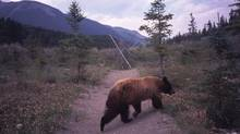 A bear wanders near the trail of an undisclosed Canadian park