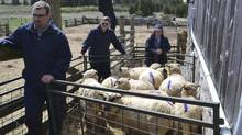 Federal agents seized nine Shropshire sheep from the farm of Montana Jones on Saturday. It is suspected the sheep have scapies. (MONTANA JONES)