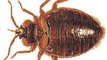 There is a resurgence in bedbugs in North America. (Anonymous/The Associated Press)