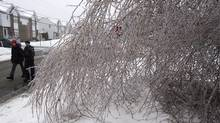 In this file photo, pedestrians walk past an ice-laden birch tree. THE CANADIAN PRESS/Ryan Remiorz