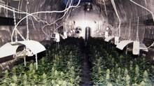 A photo of an indoor marijuana growing operation in the former Molson brewery is shown to the media at a press conference in Barrie Ont., Monday Jan.12, The former brewery, plainly visible from Highway 400, one of the provinceís busiest commuter routes, was raided on the weekend by some 100 city and provincial police officers acting on a tip. Inside was an estimated $30 million worth of marijuana, along with a grow operation of staggering proportions - the largest and most sophisticated in modern Canadian history. (Tobin Grimshaw/Tobin Grimshaw/The Canadian Press)