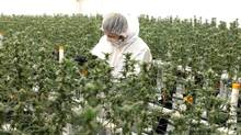 An employee at Tweed Inc., a licensed grower, attends to medical marijuana plants last January in Smiths Falls, Ont. Established growers are expected to have an edge initially. (Dave Chan/The Globe and Mail)